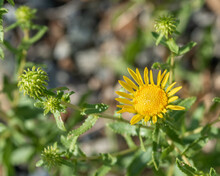 Curlycup Gumweed (Grindelia Squarrosa) Is A Resinous Yellow Biennial Weed In The Sunflower Family That Commonly Grows Along Roadsides
