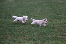 West Highland White Terrier Pu...
