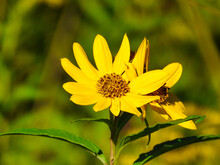 Two Blooms Of Coreopsis Or Tickseed Daisy-like Wildflower Closeup Macro With Yellow Petals Shining In The Sun And A Second Bloom Off To The Side