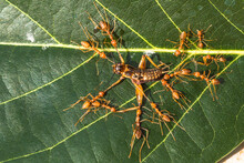 The Group Of Red Ants Catching Cricket