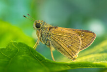 The Small Brown Skipper Butterfly In Garden