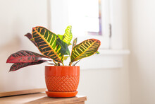 Croton In Orange Pot By Window
