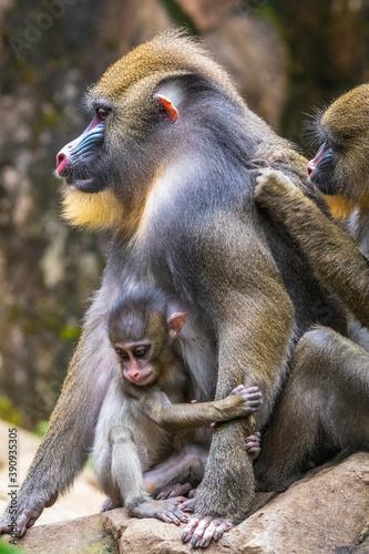 Fotografia the mandrill monkey in safari park