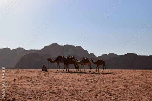 camels in the desert Canvas