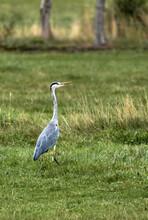 Vertical Shot Of Heron Standing On Green Grass