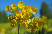Prímula Véris. Close-up Yellow Flower. Spring Landscape.