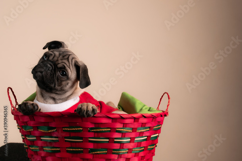Cute pug puppy sitting in a Christmas basket Canvas Print