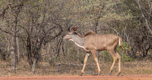A Young Kudu Bull Isolated Wal...
