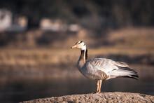 Bar Headed Goose Portrait In N...