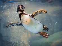 Penguin Swimming In A Tank In ...