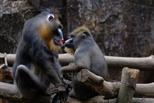 The Mandrill Is A Primate Of The Old World Monkey Family.