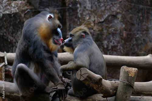 Tela The mandrill is a primate of the Old World monkey family.