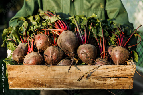 male farmer holds a wooden crate full of freshly picked beets Fototapeta