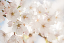 White Cherry Blossom In Spring...