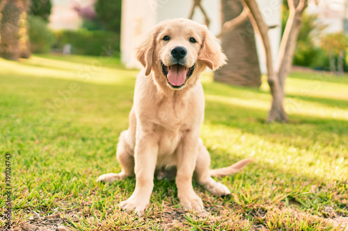 Fotografering Beautiful and cute golden retriever puppy dog having fun at the park sitting on the green grass