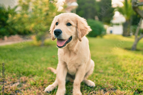 Beautiful and cute golden retriever puppy dog having fun at the park sitting on the green grass Fototapet