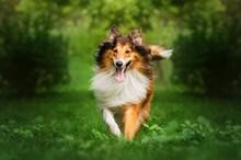 Collie Dog Walk In The Autumn Park Magic Light Beautiful Pet Portrait