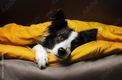 Obraz cute pets photo bright yellow background border collie dog basking in bed  - fototapety do salonu