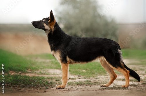 Fotografía german shepherd puppy fabulous portrait on pastel tone