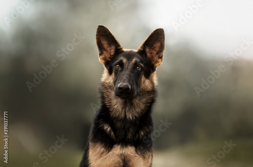 Obraz na plátne german shepherd puppy fabulous portrait on pastel tone