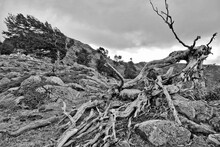 L'arbre Tordu De Bocca San Petru Sur Le GR 20 En Corse