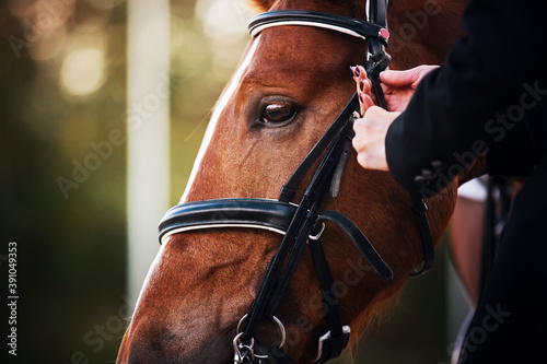 Valokuva A female rider adjusts the black leather rein on the bridle worn on the face of a sorrel racehorse