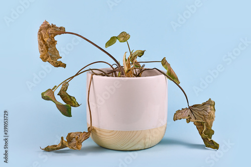 Fotografia Neglected dying house plant with hanging dry leaves in white flower pot on blue