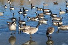 Flock Of Geese, Pylypow Wetlan...