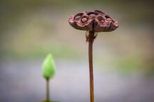 The Brown Dried Lotus Seed Pods Are Foreground And The Green Lotus Flowers Blur.