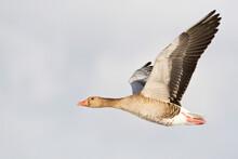 Grauwe Gans, Grey-lag Goose, A...