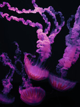 Pink Jellyfish In The Dark