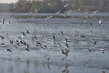 Large Flock Of Seagulls Above The Surface Of An Empty Pond During A Traditional Autumn Carp Haul