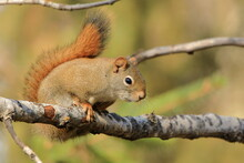 Red Squirrel Sitting On A Tree...