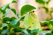 Common Brimstone Butterfly Hid...