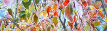 Frozen Plants And Young Trees Covered With Rime, Colorful Red, Green, Yellow, Golden Leaves Close-up. Abstract Natural Botanical Pattern, Texture, Background. Panoramic Image, Macro Photography