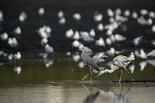 Western Reef Herons At Tubli B...