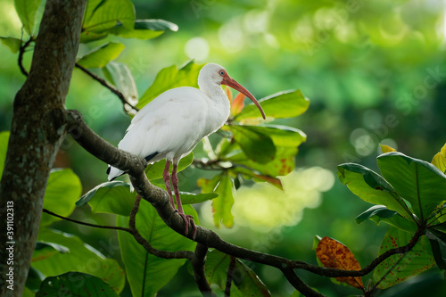 Stampa su Tela American white ibis - Eudocimus albus white bird with red beak and legs in famil