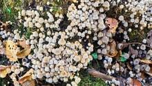 Small Mushrooms On Dead Wood - Coprinellus Disseminatus