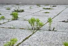 Weed Growing Between Abandoned Pavement Concrete Blocks