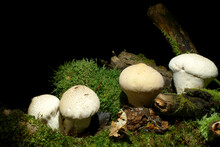 Mushrooms On The Dark, Black Background, Growing In The Moss And Old Rotten Woods. English Name Is Smooth Puffball, In Latin Lycoperdon Molle. Edible Species With Good Tasty. It Grows Very Commonly.