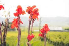 Beautiful Tall Red Canna Flowe...