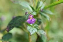 Mpatiens Textori Flowers / Bal...
