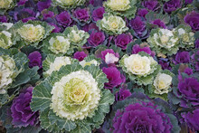 Ornamental Cabbages And Kales ...