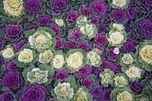 Purple And White Ornamental Ca...