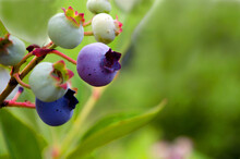 Blueberries Growing  On The Vi...
