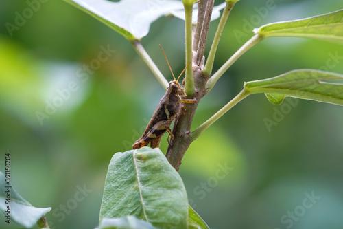 Tablou Canvas Little grasshopper on the leaf.