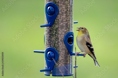 isolated goldfinch at a backyard bird feeder Fototapet