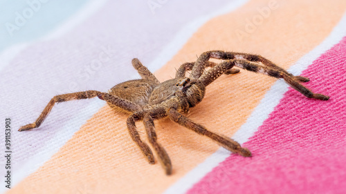 Fotografia A large brown arachnid commonly known as a Huntsman Spider with a scientific name of Holconia montana