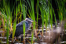 A Great Blue Heron Waits In The Tall Grass While Hunting For Prey