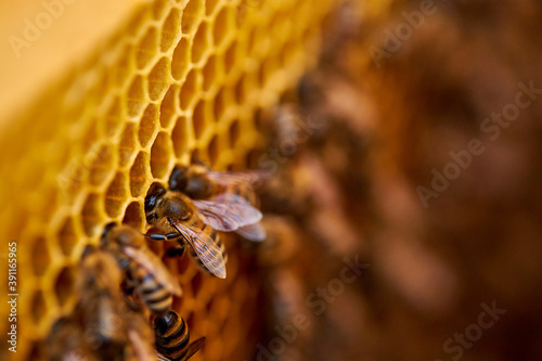a lot of bees piled it into cells, in comb contains nectar, honey and pollen Canvas